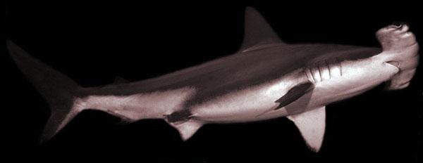 Lees ook de andere duikdocumenten - biologie over haaien, manta's, e.a