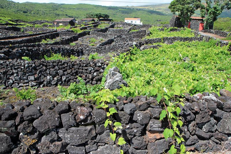 azores unesco vineyards pico