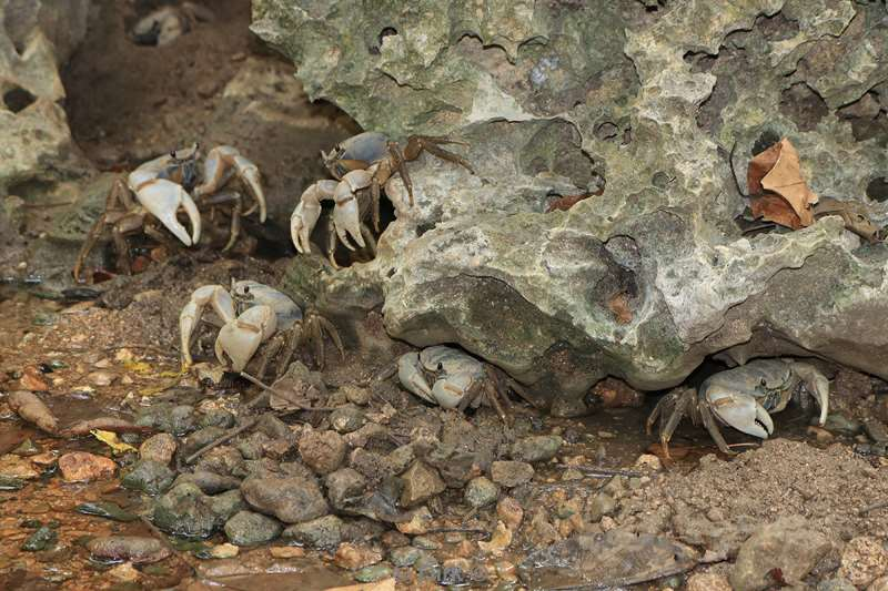 christmas island blue crabs
