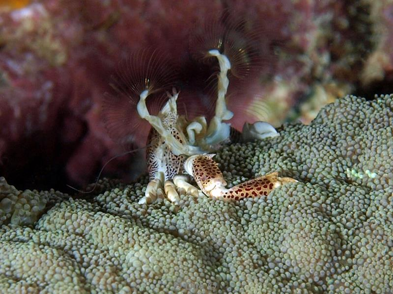 philippines diving porcelain crab