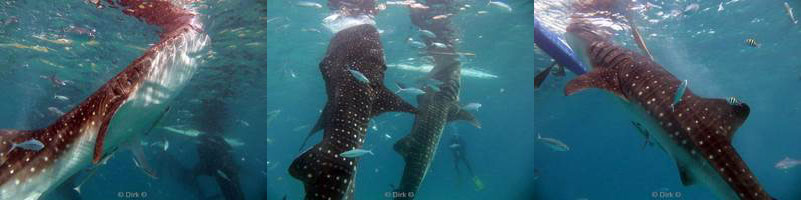 philippines diving oslob whale shark