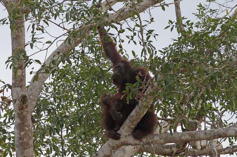 informatie orang oetan