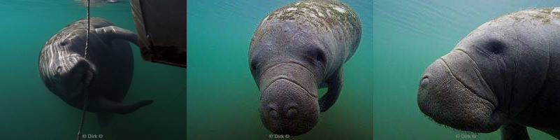 manatees florida usa homosassa